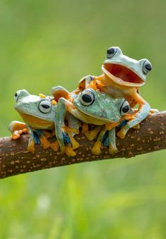 Three Reinwardt's flying frogs