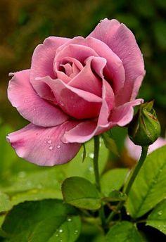 Rosa viejo