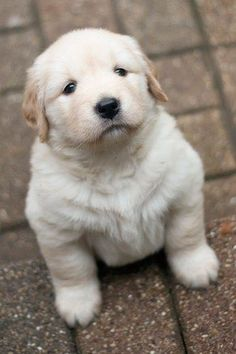 'Ahhhh' - cute #Golden #Retriever puppy