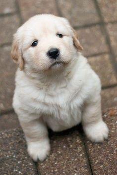 'Ahhhh' - cute #Golden #Retriever puppy