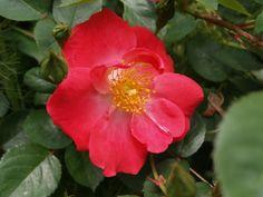 Low care roses – Ramblin' through Dave's Garden Rose Varieties, Love Rose, Cut Flowers, Shrubs, Roses, Bloom, Garden, Easy, Plants