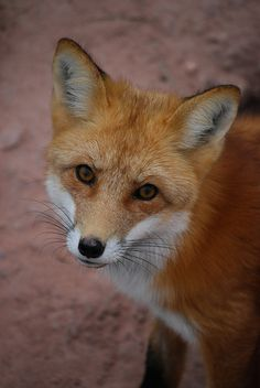 flowerling:  Red Fox | Roger and Kathy Goodson