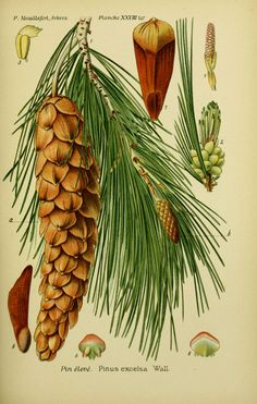 img / trees shrubs designs / drawings trees and shrubs 0109 high pine - Pinus excelsa.jpg