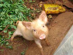 Muddy Little Piglet