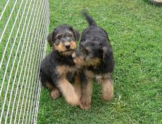 Nothing sweeter than watching Two Airedale puppies playing