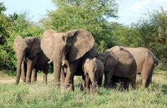 A group of elephants is called a herd