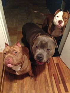 Pit Bulls have my heart...beautiful animals #pitbull