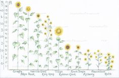 Find the Tallest Sunflower You'd Like to Grow Here. With this Easy to use Height Guide. - Best of SheSaidSunflower - Plants Sunflower Facts, Mexican Sunflower, Giant Sunflower, Small Sunflower, Growing Sunflowers From Seed, Dwarf Sunflowers, Planting Sunflowers, How To Plant Sunflowers, Perennial Sunflower