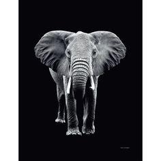 Czarno biały obraz 50x70cm - słoń