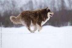 Finnish Lapphund.