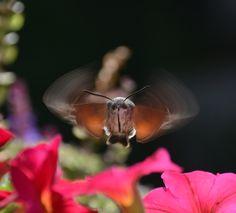 kolibri in deutschland was es mit dem insekt namens taubenschw nzchen auf sich hat und wo man. Black Bedroom Furniture Sets. Home Design Ideas