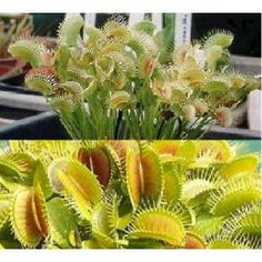 Attrape-Mouches - Dionée Muscipula See more at : http://www.rarexoticseeds.com/fr/graines-plantes-carnivores/graines-dionaea-muscipula-graines-attrape-mouches.html