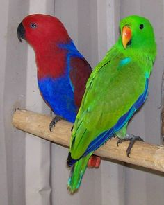 Electus Parrot - love their opposite colouring. Female red, male green