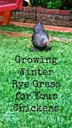 Tips on growing winter rye grass for backyard chickens. Rye grass is a great nutritional supplement for your urban chickens through the winter. Plants For Chickens, Raising Backyard Chickens, Urban Chickens, Keeping Chickens, Pet Chickens, Backyard Farming, Rabbits, Silkie Chickens, Chicken Garden