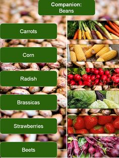 Companion Planting with Beans Chart #vegetable #gardening