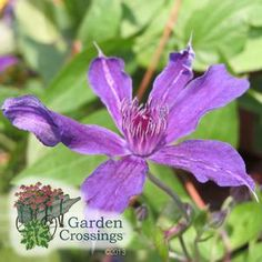 Sapphire Indigo™ Clematis ' A continuous bloomer from June through September, this compact 4 foot tall vine can be trained to climb a short trellis or will maintain a tidy looking ground cover for your garden or landscape. #clematis