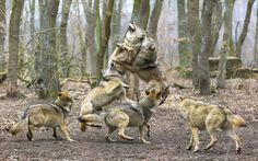 Animal Stories | Ravenous Wolves by 16 Year Old Photographer Andre Grunewald