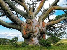Ancient Snow Gum Tree, (Eucalyptus pauciflora) Bogong High Plains near Cape West Aquaduct, Alpine National Park, Australian state of Victoria