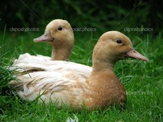 call duck images - Google Search