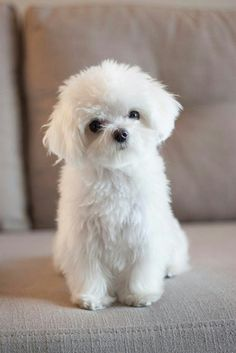 Cute Maltipoo on Couch ------- Top 10 Least Smelly Dog Breeds Fluffy Animals, Cute Baby Animals, Animals And Pets, Fluffy Dogs, Cute Puppies, Cute Dogs, Dogs And Puppies, Doggies, Cute White Puppies