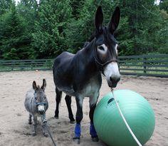 Rio and Rocket Man our mini donkey on the Donkey Whisperer Farm. Htpp://www.donkewhisperer.com