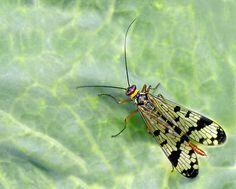 Mosca escorpión II - Pentaxeros.com