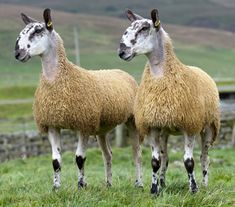 Bluefaced Leicesters - very weird looking sheep!