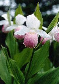 The pink and white lady's slipper (Cypripedium reginae), also knows as the showy lady's slipper or queen's lady slipper, was adopted as the state flower of Minnesota in 1902.