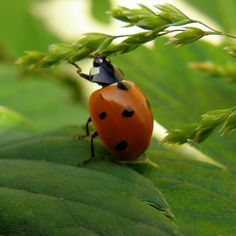 life cycle of a lady bug in pictures