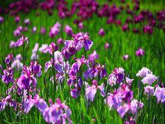 LAS MEJORES FLORES A DOMICILIO. ¿Conoce la Iris? Este es un tipo de flor que puede nacer en cualquier tipo de suelo, su nombre proviene del griego Arcoíris, gracias a la gran variedad de colores que poseen sus casi 300 especies; resisten el frío pero no el calor extremo. En Lilium contamos con diseños elaborados con esta hermosa flor. Le invitamos a entrar a nuestra página de internet www.lilium.mx en dónde podrá elegir el diseño de su preferencia. #floreslilium