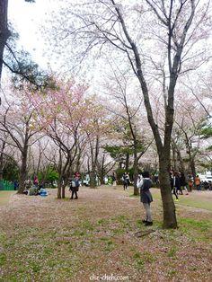 King Cherry Blossom @ Jeju Sports Complex, Jeju City  #그대로에집엄마를  #네트워크마케팅 #다단계마케팅 #피부관리 #ClassyLadyEntrepreneur    www.RadiantFitAndHappy.com   ⭐️⭐️ www.SkincareInKorea.info Jeju City, Sports Complex, Self Driving, Incheon, Filming Locations, Travelogue, Car Rental, South Korea, Cherry Blossom