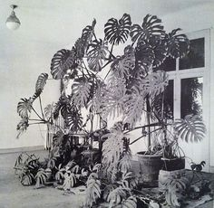 Giant Philodendron in Matisse's studio; Nice, France 1948.  the transcontinental affair: inspired by: Henri Matisse.