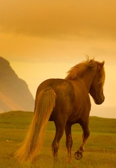 Icelandic Horse! #ilovestylemyride #stylemyride @Style My Ride, Equestrian www.stylemyride.net