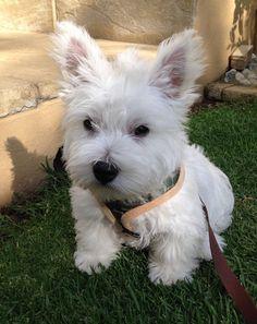 Monty the Westie, 9 weeks old here ❤️