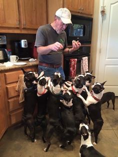 Imagine walking this bunch! You can find dog walking accessories such as harnesses, collars, leashes and more for boston terriers and other furry friends at www.chic-dog-boutique.com