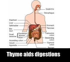 health benefits of thyme - Google Search Health Benefits Of Thyme, Thyme Recipes, Bile Duct, Google Search