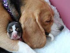 beagles puppies #beagle