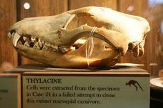 Thylacine skull, via Flickr.