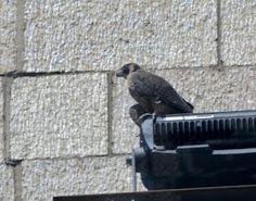 Columbus Peregrine Falcon Update: June 2016