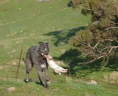 American staghound photo | ... incredible neo american staghound x pig dog american staghounds