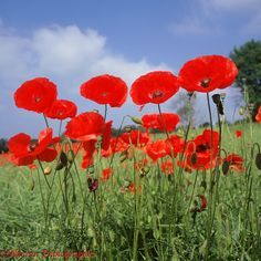 http://www.warrenphotographic.co.uk/photography/bigs/01872-Red-poppies.jpg