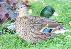 Call Bantum Ducks, the smallest of domesticated ducks and make great pets