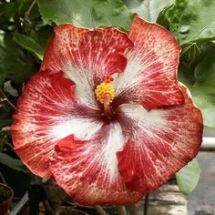 Hibiscus Silver Dragon /Sunkissed Nursery Hibiscus Bush, Hibiscus Flowers, Blooming Flowers, Tropical Flowers, Unusual Plants, Rare Plants, Exotic Plants, Rare Flowers, Beautiful Flowers