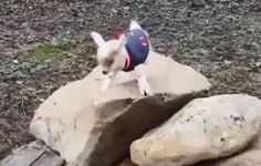Little Goat Couldn't Be Happier About His Fancy New Sweater