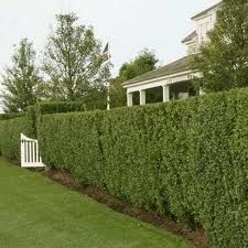 Hedge fencing for the front yard