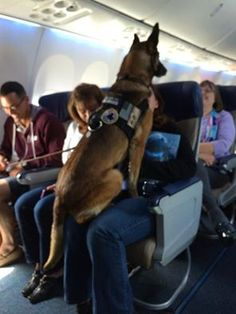 """I was the flight attendant on a Memorial Day flight. Speaking with the passenger in the front row, I learned that the dog pictured was Corporal Kiddy. She had just earned her retirement after 12 years with the U.S. Marines. I made an announcement to congratulate her on her career. The cabin erupted into applause. The corporal jumped onto the nearest lap to graciously accept."""