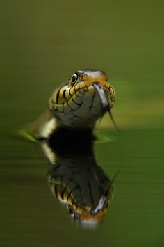 Come in the water...it's lovely by Edwin Kats - No thanks Mr. Snake! ......only kidding, this is a harmless grass snake.