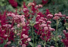 Punatähtiputki on alppitähtiputken ja tavallisen tähtiputken hybridi. Tässä se kasvaa verenpunaisen angervon viehättävässä seurassa.
