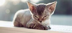 Chat Devon Rex: une race de chat au pelage frisé