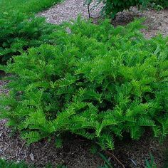 immergrne strucher This slow-growing dwarf conifer has a wide, rounded crown and narrowly furrowed, partially peeling bark. Evergreen Shrubs, Trees And Shrubs, Trees To Plant, Evergreen Garden, Landscaping Plants, Front Yard Landscaping, Landscaping Ideas, Outdoor Plants, Outdoor Gardens